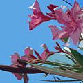 Oleander Flowers Wilting In The Brutal Florida Sun    by Allan  Hughes