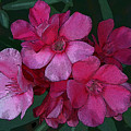 Oleanders In Pink by Marna Edwards Flavell