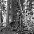 Olympia Rain Forest by TL Randleman