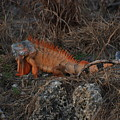 Oranage Iguana by Rob Hans