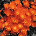 Orange by Douglas Barnard