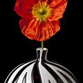 Orange Iceland Poppy by Garry Gay