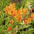 Orange Lilies by Liz Santie