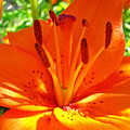 Orange Lily Flower Art Print Summer Lily Garden Baslee Troutman by Baslee Troutman