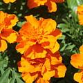Orange Marigolds In Bloom by Debi York
