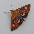 Orange Mint Moth - Pyrausta Orphisalis by Mother Nature