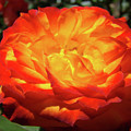 Orange Red Rose Flower Art Prints Giclee Baslee Troutman by Baslee Troutman