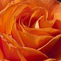 Orange Rose 2 by Steve Purnell