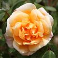 Orange Rose Square by Carol Groenen