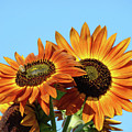 Orange Sunflowers Summer Blue Sky Art Prints Baslee by Baslee Troutman