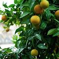 Orange Tree by Lorraine Devon Wilke