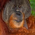 Orangutan Male by Louise Heusinkveld
