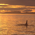 Orca Killer Whale by John Hyde - Printscapes
