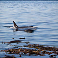 Orca Whales In The San Juan Islands by Sandy Buckley
