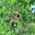 Orchard Oriole Feeding The Kids by David Arment