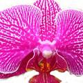 Orchid I Pretty by Florene Welebny