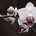 Orchid by Sally Engdahl