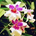 Orchids 1 by Sandy MacGowan