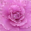 Ornamental Cabbage With Raindrops - Square by Carol Groenen