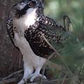 Osprey 40 by Joyce StJames