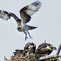 Osprey Nest by Ben Upham III