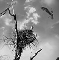 Osprey Nest by Brian Wallace