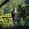 Osprey On Branch by Ben Upham III