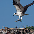 Osprey Returning Home by David Bishop