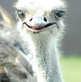 Ostrich Grin by Steve Somerville
