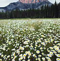Ox-eyed Daisies And Cascade Mountain by Darwin Wiggett