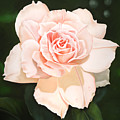 Pale Pink Rose by Ora Sorensen