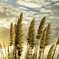 Pampas Grass by Julia Hiebaum