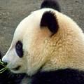 Panda Snack by Karen Wiles