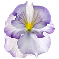 Pansy by Tony Cordoza