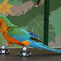 Parrot On Skates by Ruth Hallam