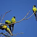 Parrot Squabble by Greg Clure