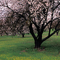 Paso Robles Orchard by Kathy Yates