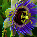 Passion-fruit Flower by Betsy Knapp