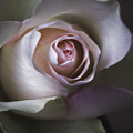Pastel Flower Rose Closeup Image by Artecco Fine Art Photography
