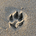 Pawprint In The Sand by Stacey May