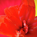 Peach Melba Red Amaryllis Flower On Raspberry Ripple Pink And Yellow Background by Andy Smy