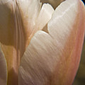 Peach Tulip by Teresa Mucha
