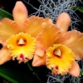 Peachy Couple by Jeanette Oberholtzer