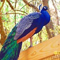 Peacock by Donna Bentley