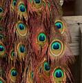 Peacock Fall by Randy Ricketts