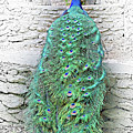 Peacock Fluffy Tail Color Sketch by Linda Phelps