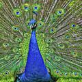 Peacock In A Oak Glen Autumn 3 by Tommy Anderson