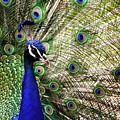 Peacock by Stefan Nielsen
