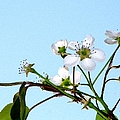Pear Tree Blossoms 4 by J M Farris Photography