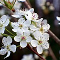 Pear Tree Blossoms II by Betty Northcutt